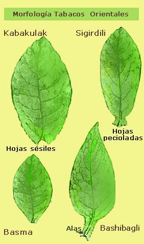 Morfologia Tabacopedia