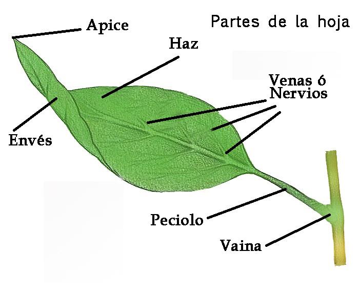Bot nica tabacopedia for Hojas ornamentales con sus nombres