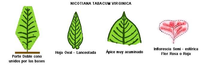Botánica - Tabacopedia